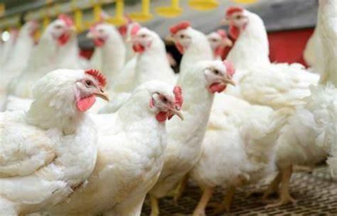 انفلونزا حاد پرندگان