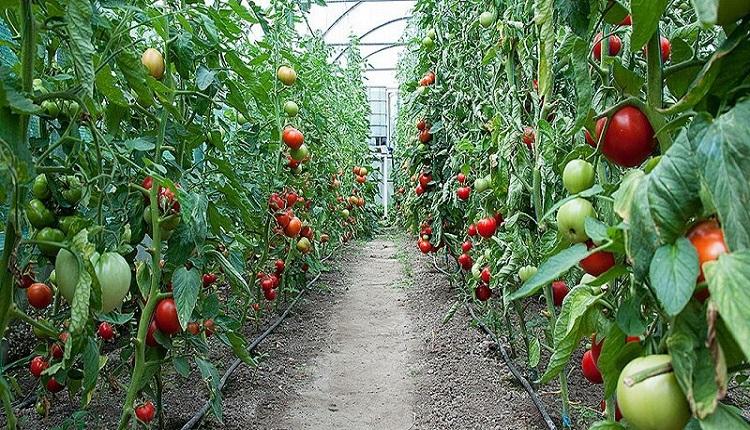 گواهی سلامت محصولات جنوب استان کرمان